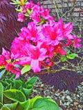 Consideravelmente cor-de-rosa foto de stock