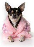 Consideravelmente na chihuahua cor-de-rosa Fotografia de Stock