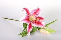 Consideravelmente na cor-de-rosa Imagens de Stock