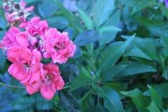 Consideravelmente na cor-de-rosa imagens de stock royalty free