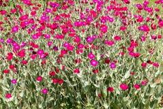 Consideravelmente na cor-de-rosa Imagem de Stock Royalty Free
