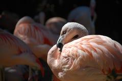 Consideravelmente no flamingo cor-de-rosa Imagens de Stock