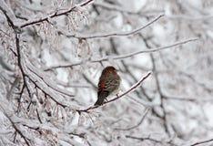 Passarinho de casa no membro gelado Fotografia de Stock