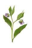 Consolda-maior; Comum; medicinal Imagens de Stock Royalty Free