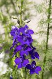 Consolida regalis in bloom, dark violet purple flowers stock photography
