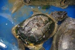 Consolidando e curando uma tartaruga foto de stock