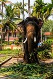 Consommation énorme d'éléphant Éléphant tenu dans les chaînes images libres de droits