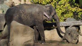 Consommation asiatique de maximus d'Elephas d'éléphant banque de vidéos