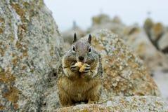 Consommation d'écureuil Photos libres de droits