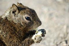 Consommation d'écureuil Image libre de droits