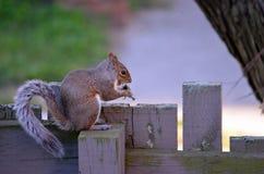Consommation d'écureuil images stock