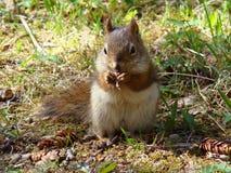 Consommation d'écureuil rouge Photographie stock