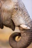 Consommation d'éléphant Images stock