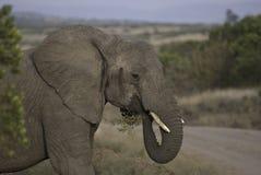 Consommation d'éléphant Images libres de droits