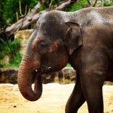 Consommation d'éléphant Image stock