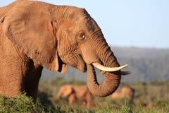 Consommation d'éléphant africain Photos libres de droits