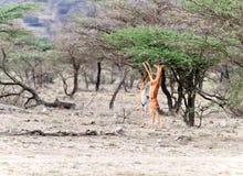 Consommation d'Impala Photos libres de droits