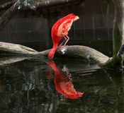 Consommation d'oiseaux aquatiques Photos libres de droits