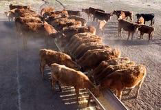 Consommation de bétail Images stock