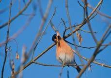 Consommation de Bullfinch Photographie stock libre de droits
