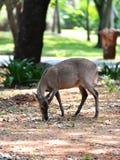 Consommation de cerfs communs Images libres de droits