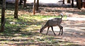Consommation de cerfs communs Images stock