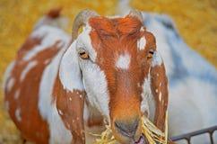 Consommation de chèvre Image libre de droits