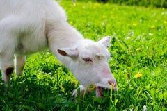 Consommation de chèvre Photographie stock libre de droits