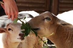 Consommation de chèvres et de moutons photos libres de droits