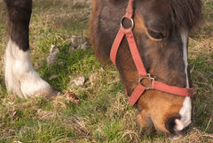 Consommation de cheval Photographie stock