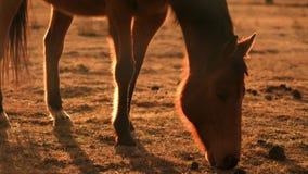 Consommation de cheval de Brown éclairée à contre-jour au coucher du soleil à une ferme pendant le tir étroit de sécheresse Séche clips vidéos