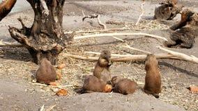 Consommation de chiens de prairie rondins proches, vieilles racines, un jour chaud d'été, banque de vidéos