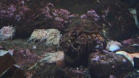 Consommation de crabe de roche banque de vidéos