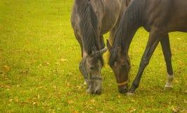 Consommation de deux chevaux Image stock