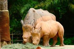 Consommation de deux rhinocéros Photographie stock