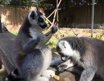 Consommation de deux singes de lémur image stock
