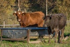 Consommation de deux vaches Photographie stock libre de droits