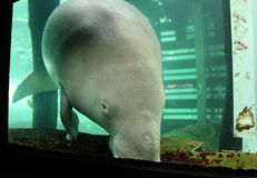 Consommation de Dugong Photographie stock