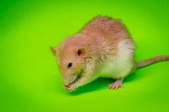 Consommation de fantaisie de rat d'animal familier Photographie stock