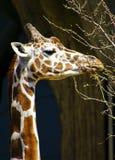 Consommation de girafe photographie stock libre de droits