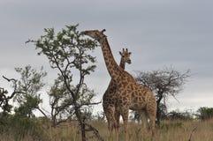 Consommation de girafes Photographie stock libre de droits