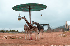 Consommation de girafes de Baringo Images libres de droits