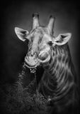 Consommation de giraffe Images libres de droits
