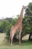 Consommation de giraffe Photographie stock libre de droits
