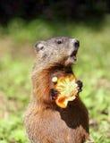 Consommation de Groundhog photo libre de droits