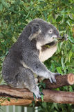Consommation de koala Photos libres de droits