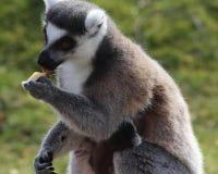 Consommation de lémur coupée la queue par anneau Photographie stock