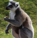 Consommation de lémur coupée la queue par anneau Photographie stock libre de droits