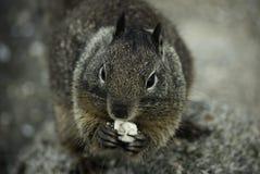 Consommation de l'écureuil Photos libres de droits