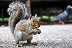 Consommation de l'écureuil Images stock